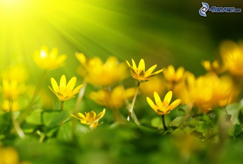 gula blommor, solstrålar