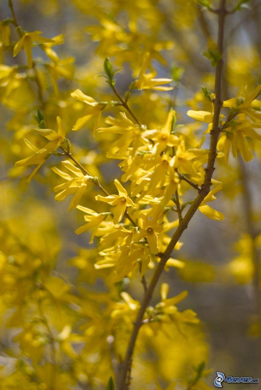 gullregn, gula blommor