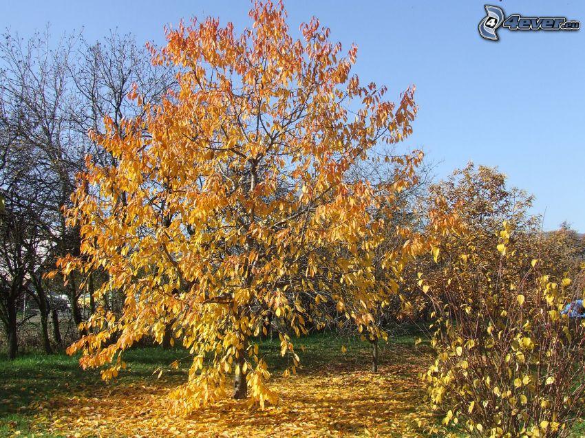 gult träd, gula löv, höst