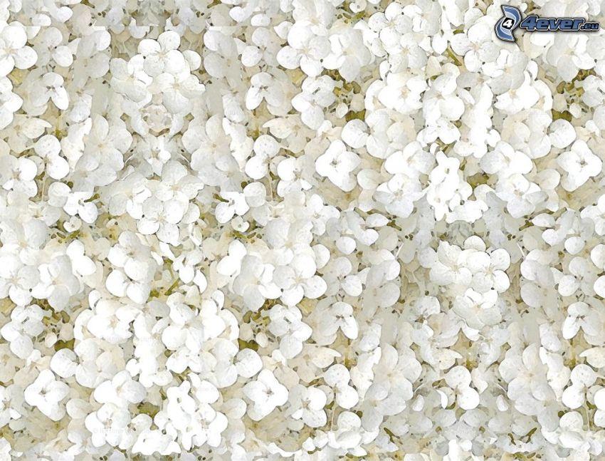 hortensia, vita blommor, tecknat