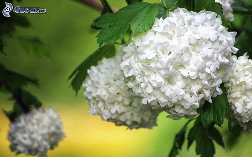 hortensia, vita blommor