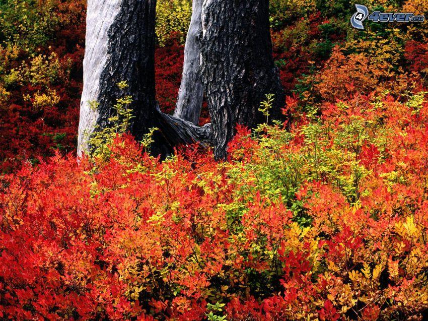 höst, buskar, färggranna blad, trädstammar