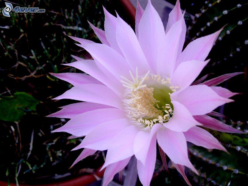 kaktus, blomma, lila