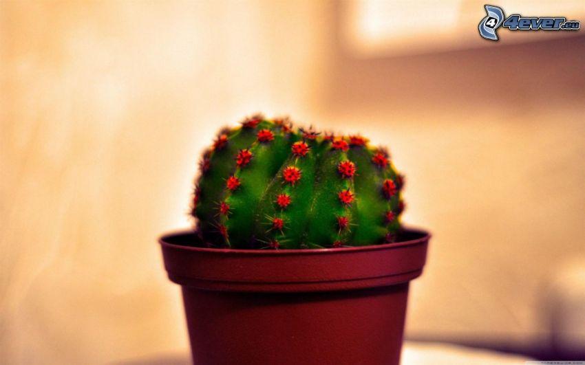 kaktus, kruka