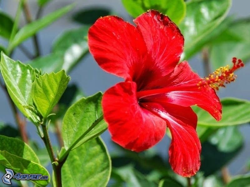 kinesisk ros, röd blomma, gröna blad