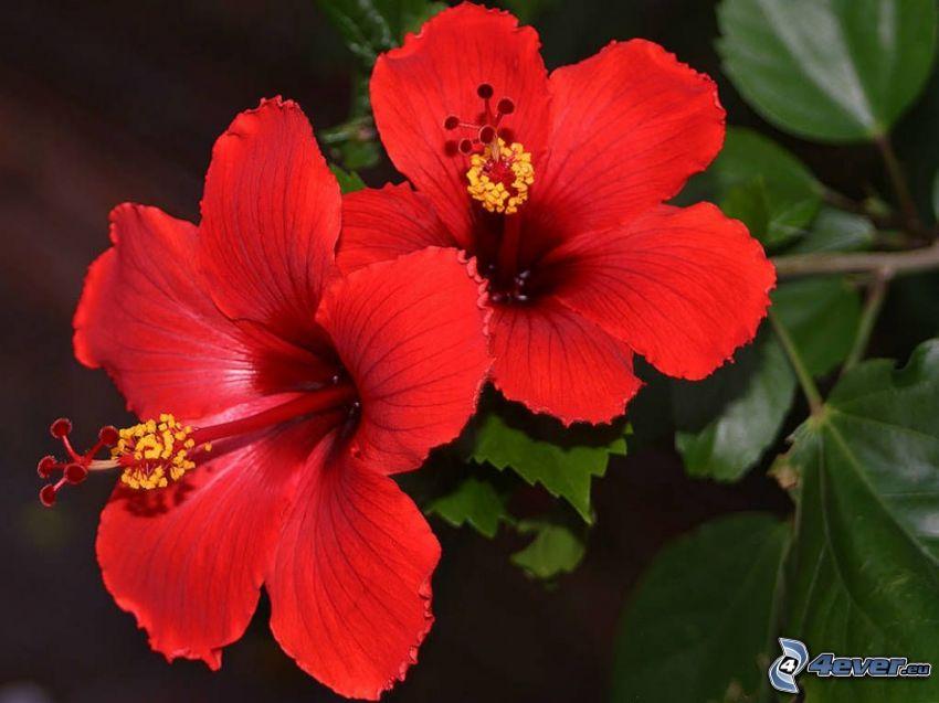 kinesisk ros, röd blomma