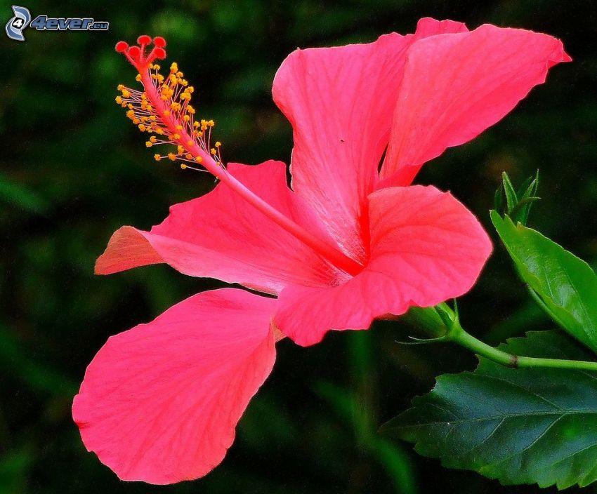 kinesisk ros, rosa blomma