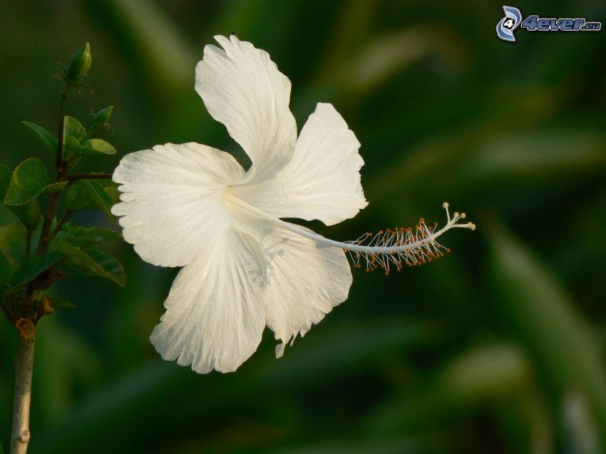 kinesisk ros, vit blomma
