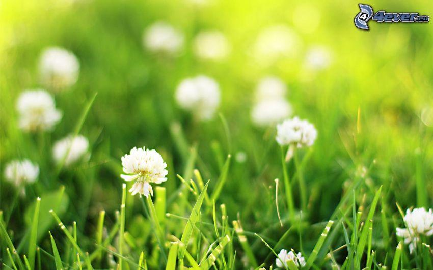 klöver, gräs