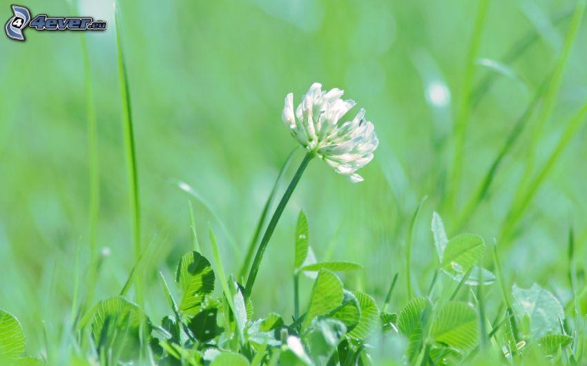 klöver, vit blomma