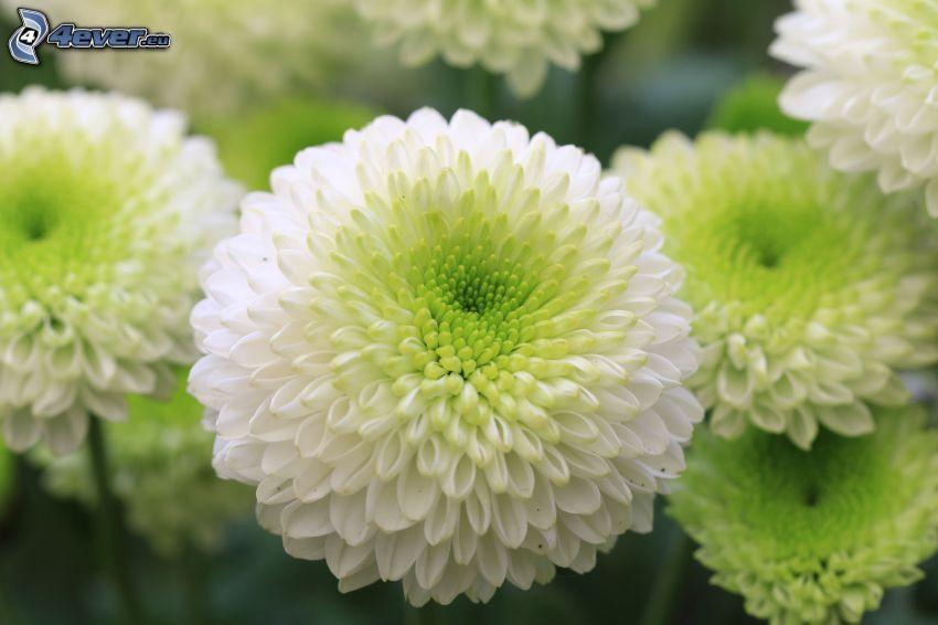 krysantemum, vita blommor