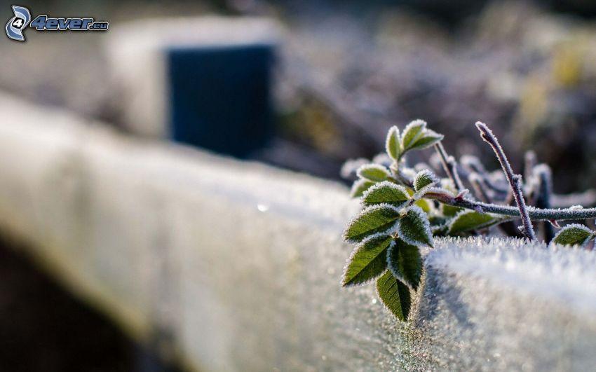 kvist, frost, trästaket