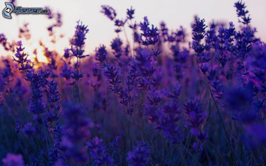 lavendel, lila blommor