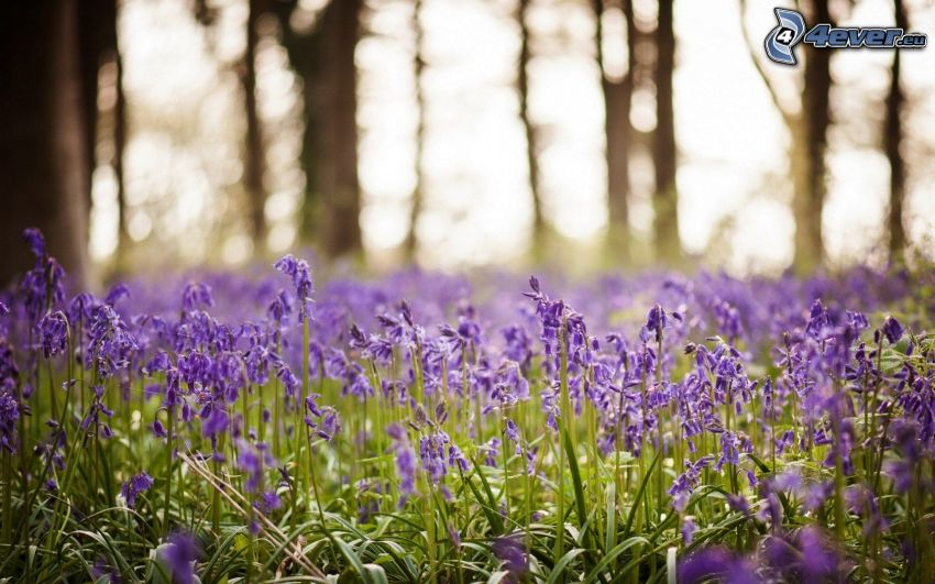 lavendelfält, lila blommor