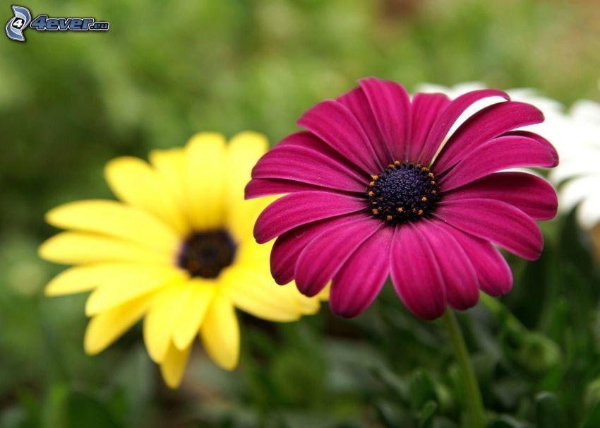 lila blomma, gul blomma