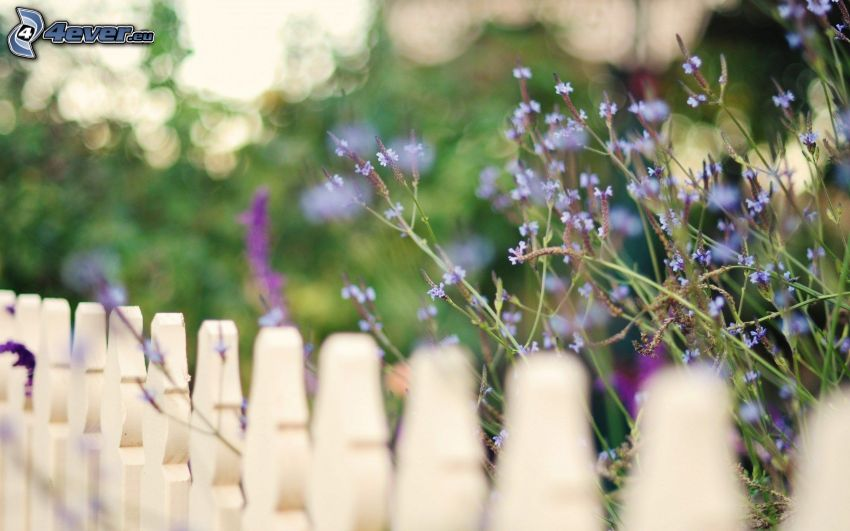 lila blommor, trästaket