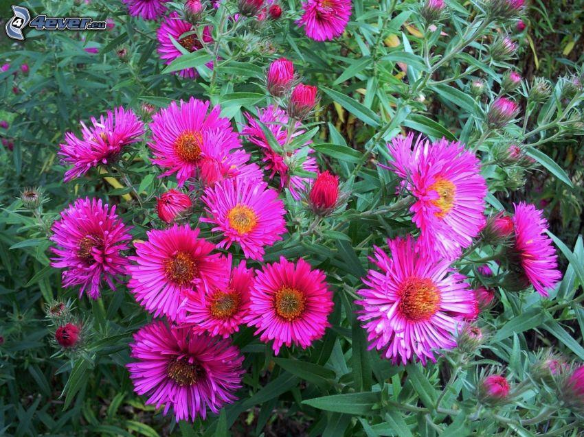 lila blommor