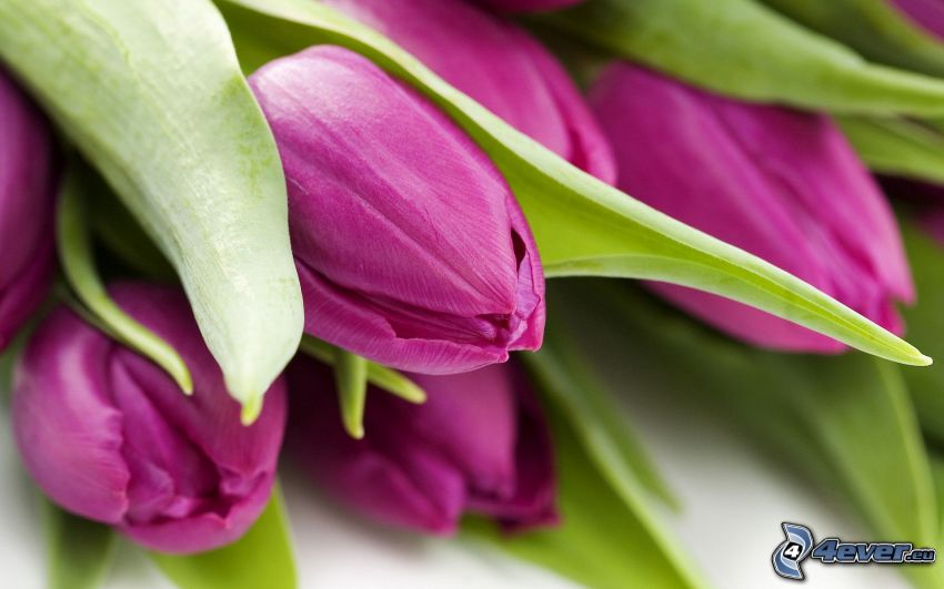 lila tulpaner
