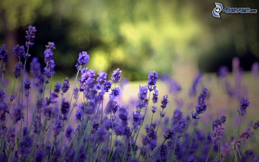 lila växter