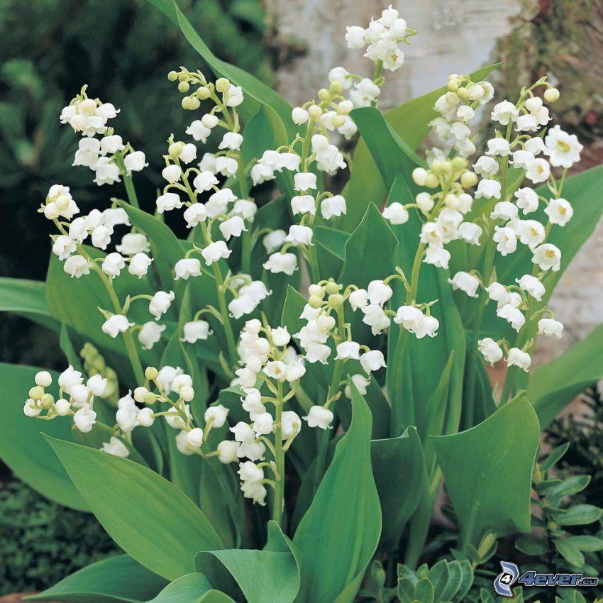 liljekonvaljer, gröna blad