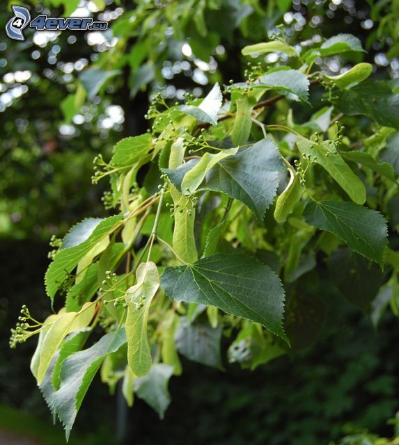 lind, gröna blad, gren