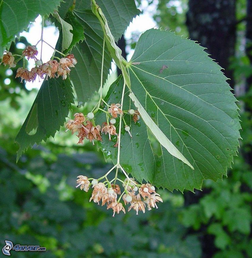 lind, gröna blad