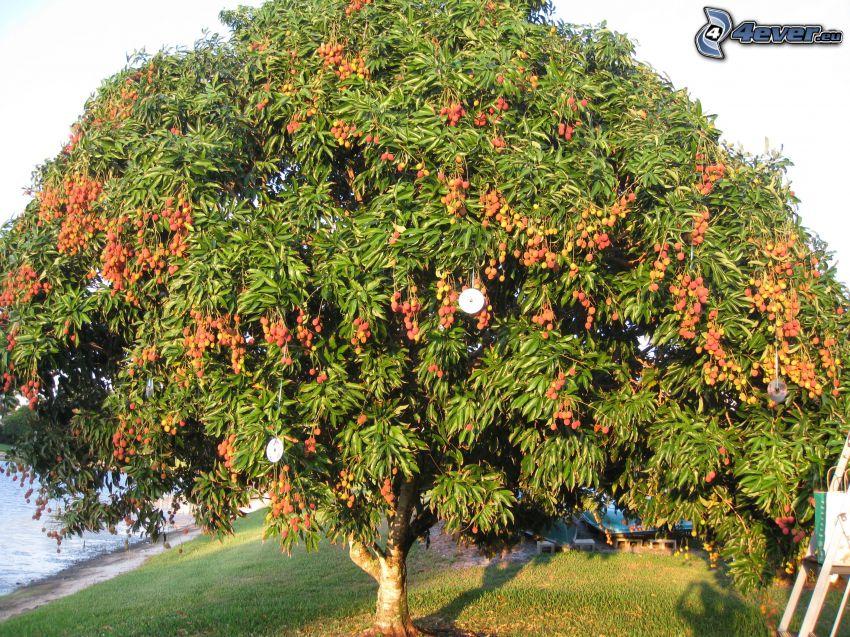 litchiplommon, träd