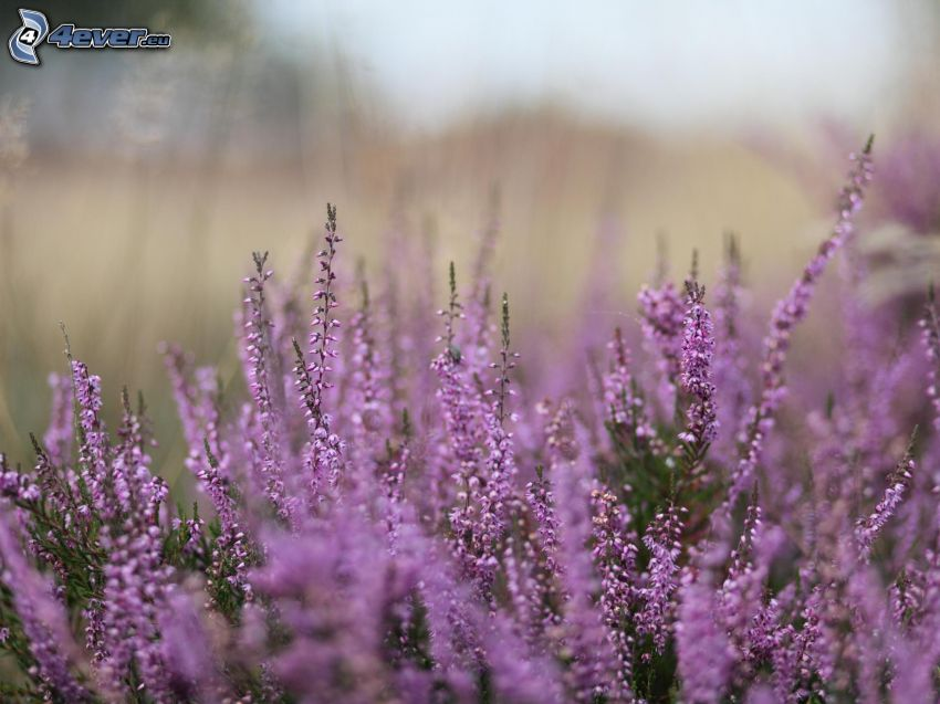ljung, buske, lila blomma