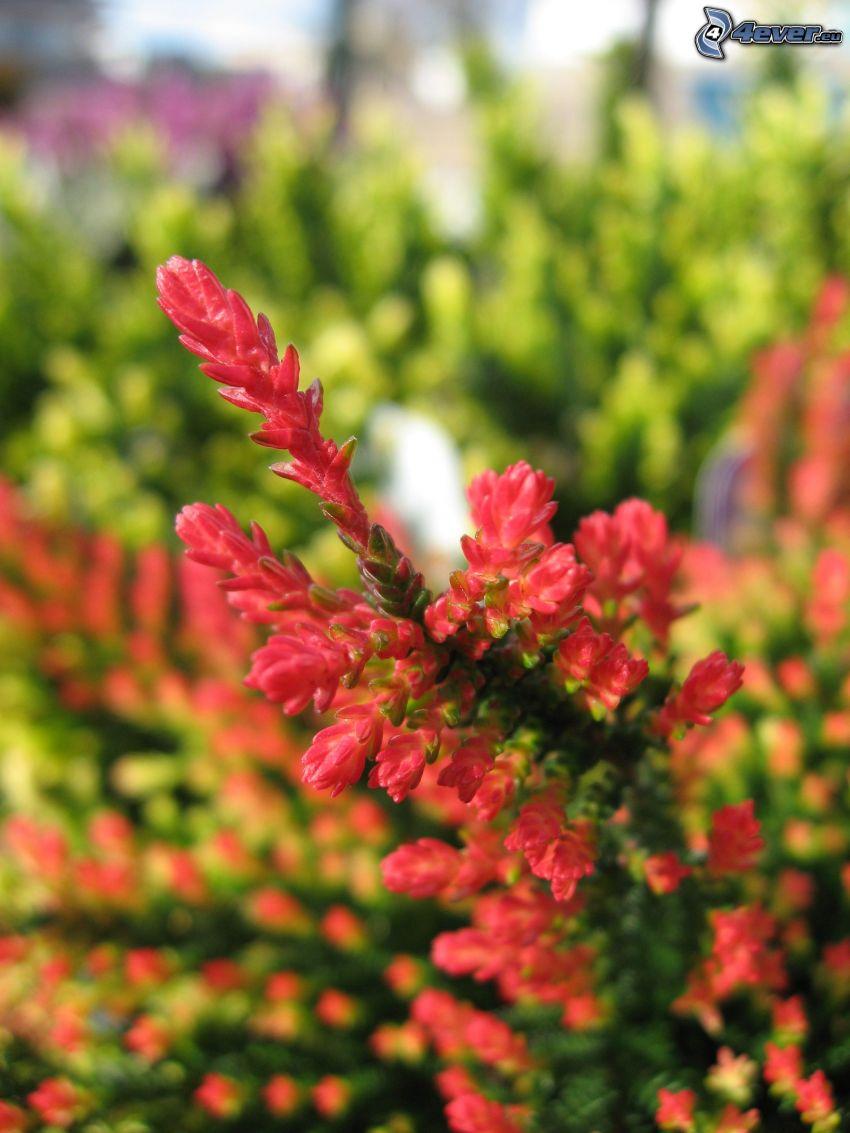 ljung, buske, röd blomma