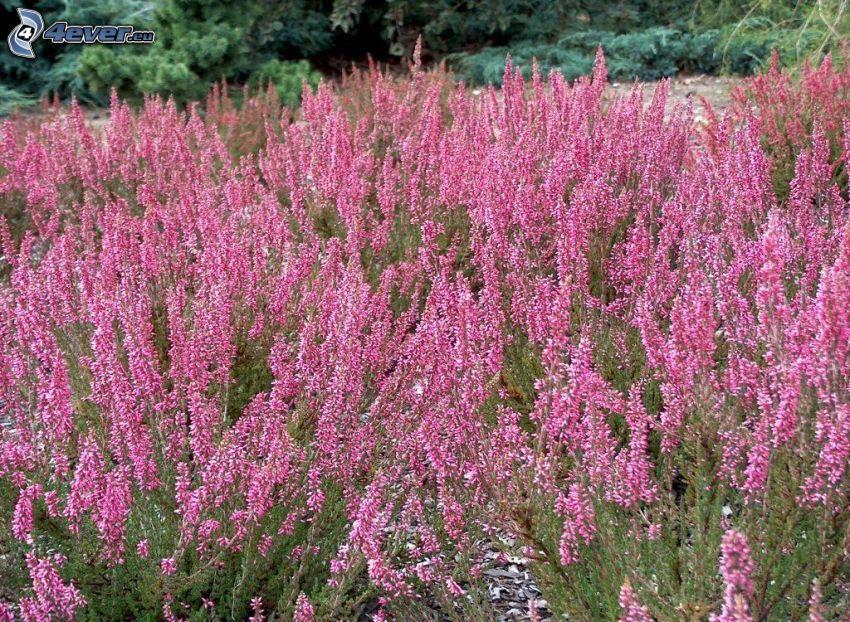 ljung, buske, rosa blommor