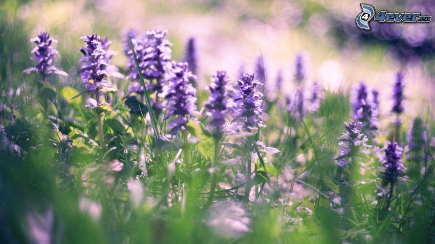 lupiner, lila blommor, gräs