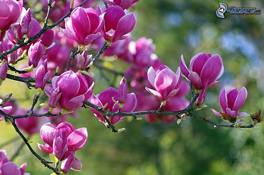 magnolia, lila blommor