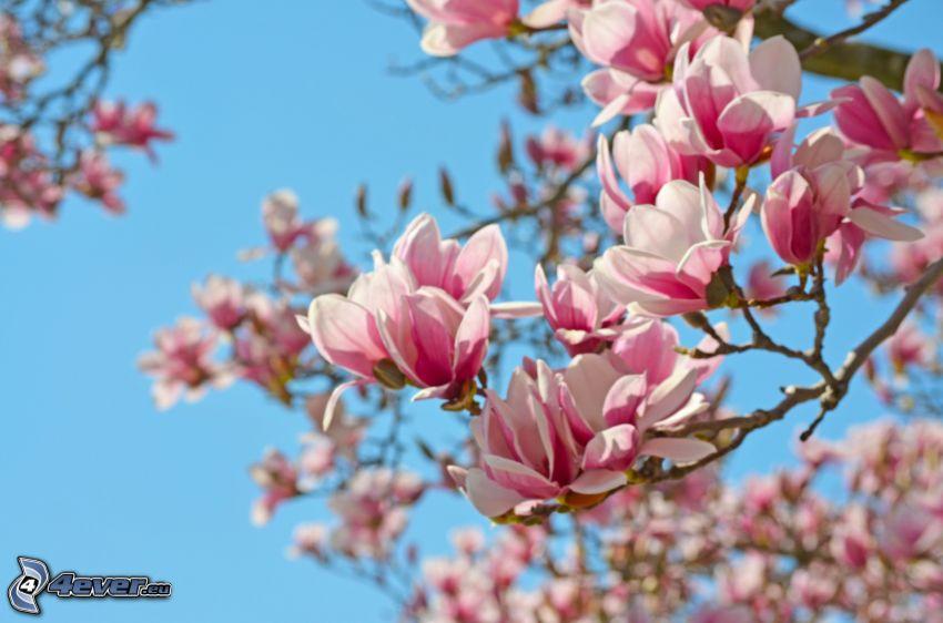 magnolia, rosa blommor