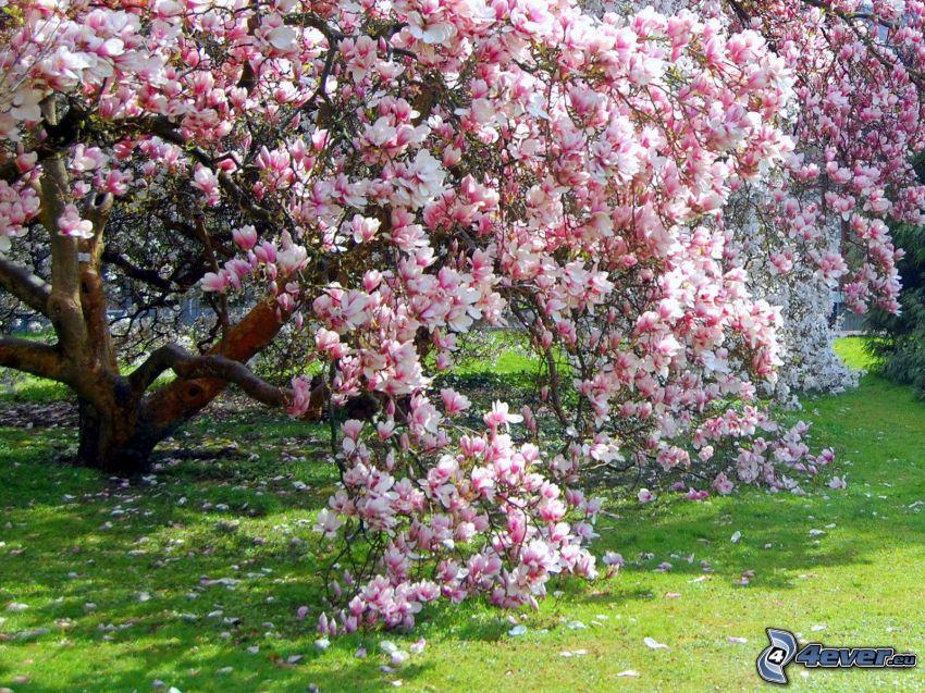 magnolia, rosa träd