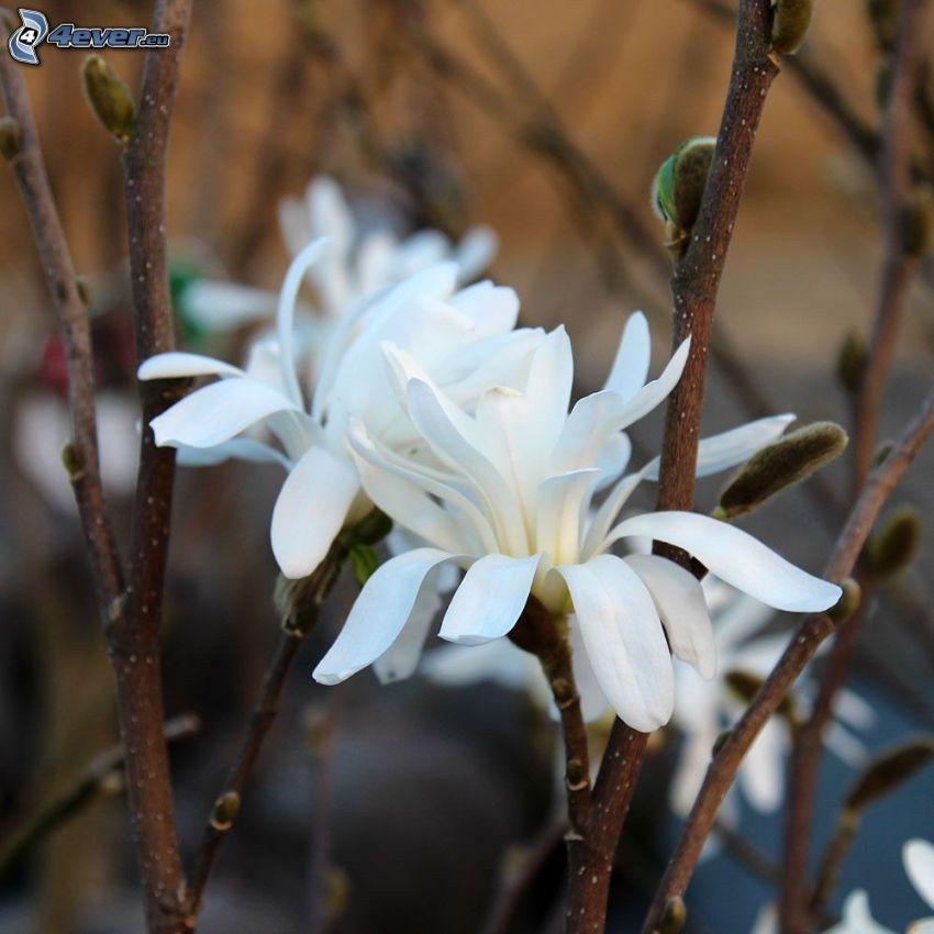 magnolia, vita blommor