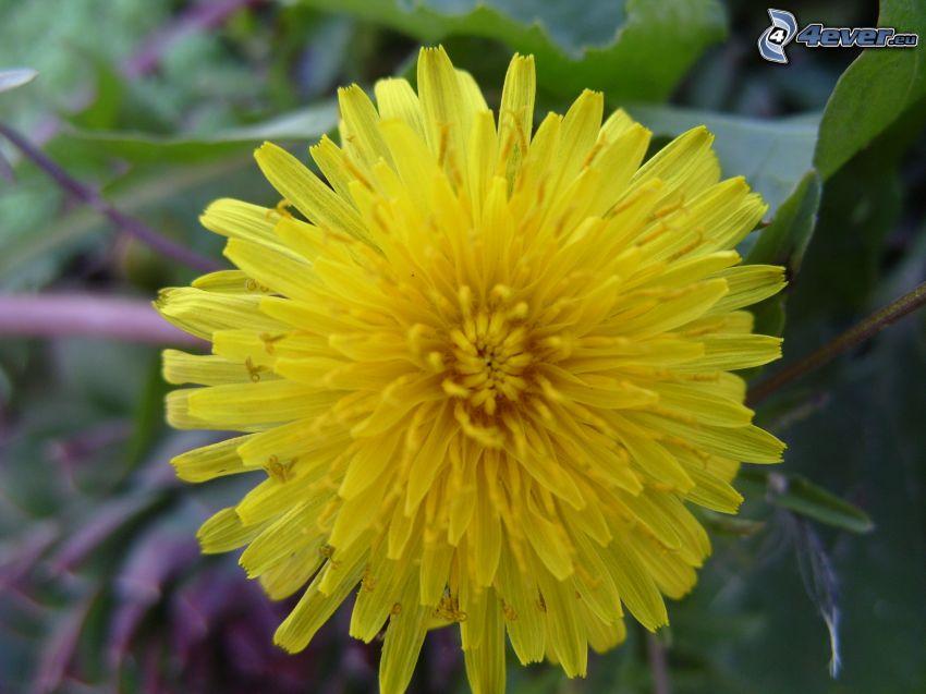 maskros, gul blomma