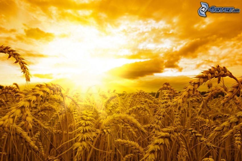 moget vetefält, solnedgång över fält, orange himmel