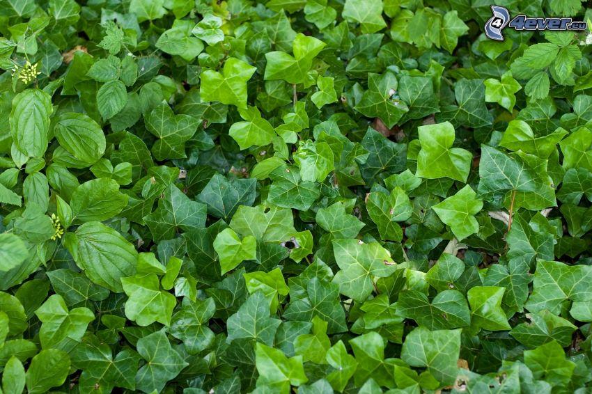 murgröna, gröna blad