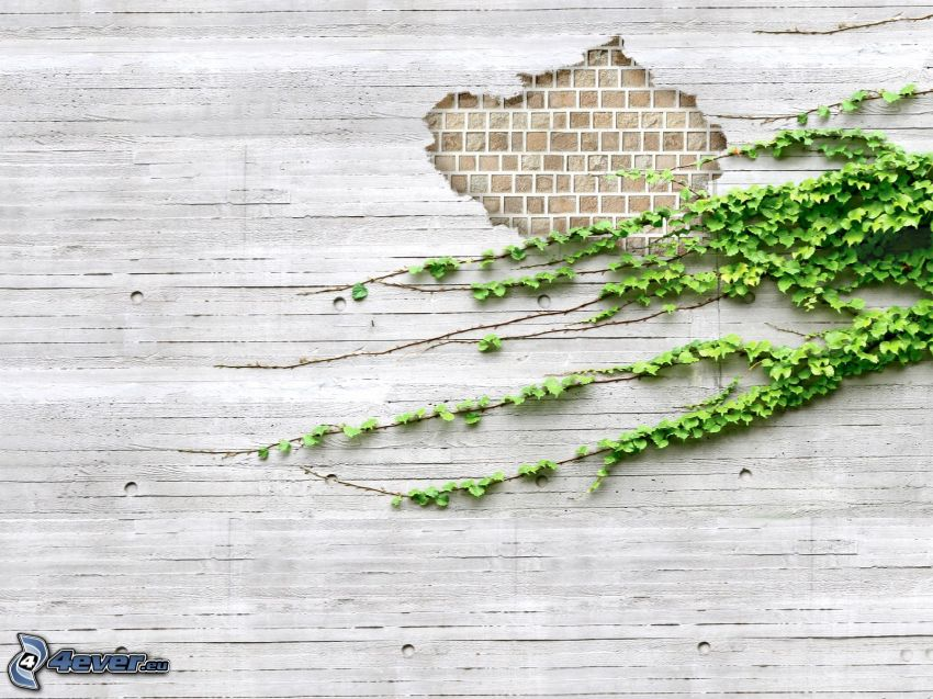 murgröna, vägg