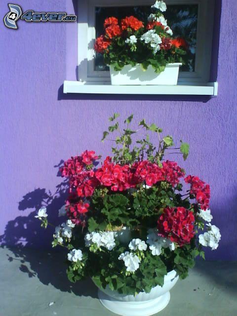 muskot, blomma