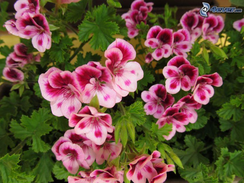 muskot, lila blommor