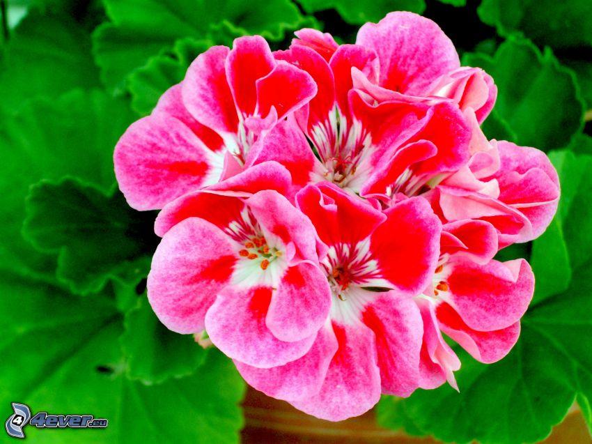 muskot, röd blomma