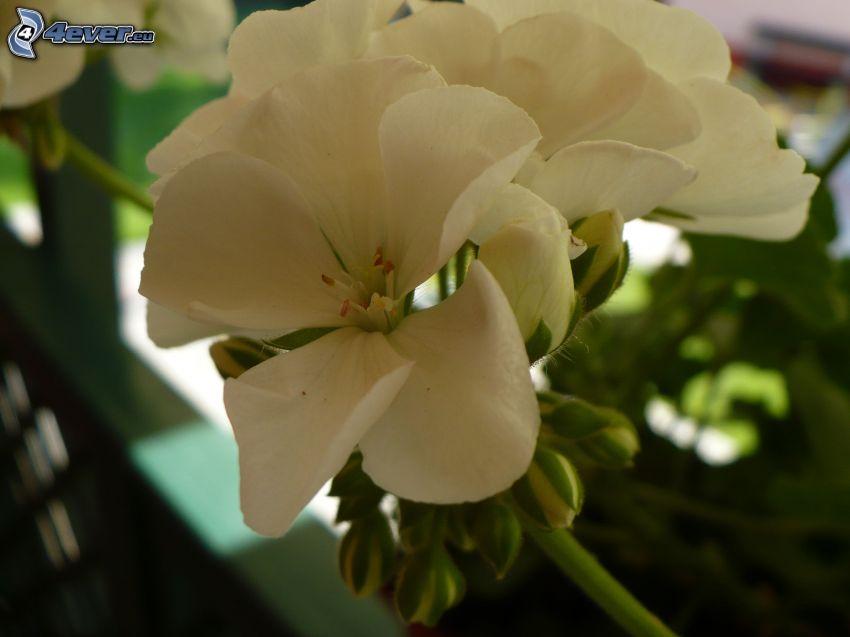 muskot, vit blomma