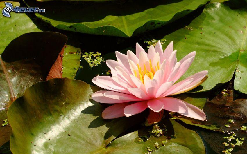 näckrosor, rosa blomma