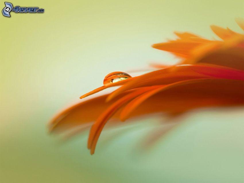 orange blomma, vattendroppe, gula kronblad