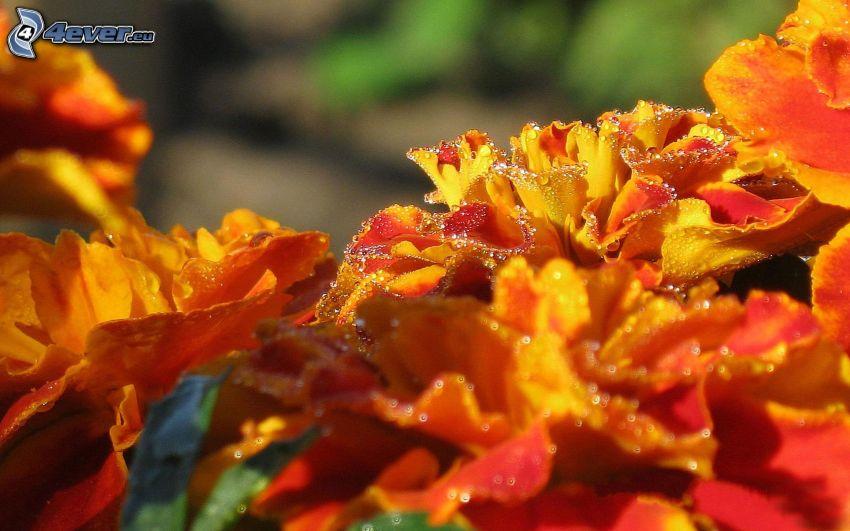 orangea blommor, dagg