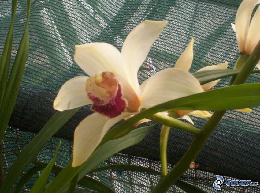 Orchidé, blomma