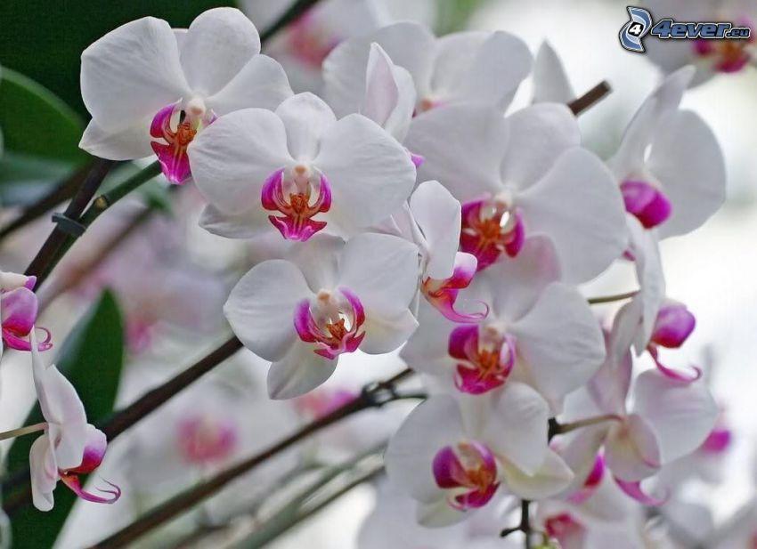 Orchidé, blommor