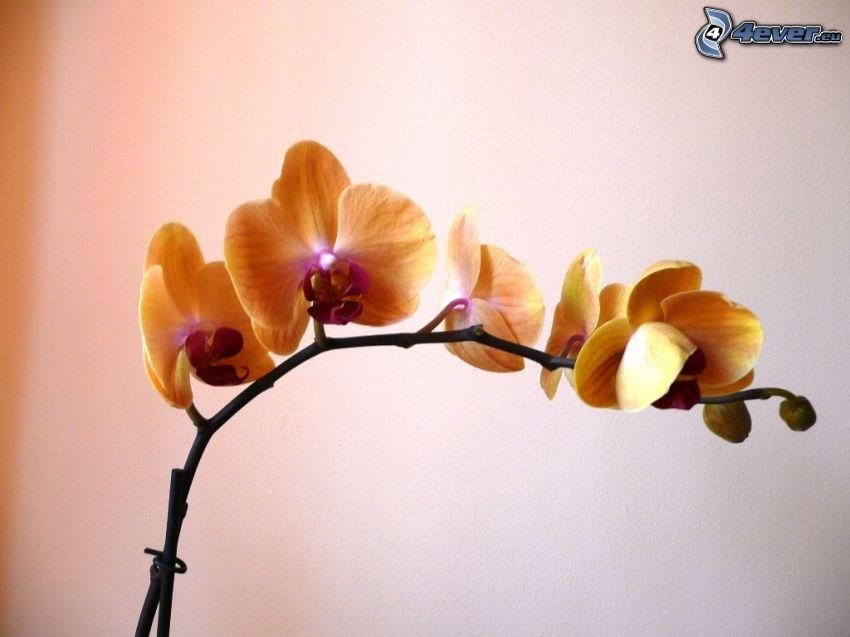 Orchidé, orangea blommor