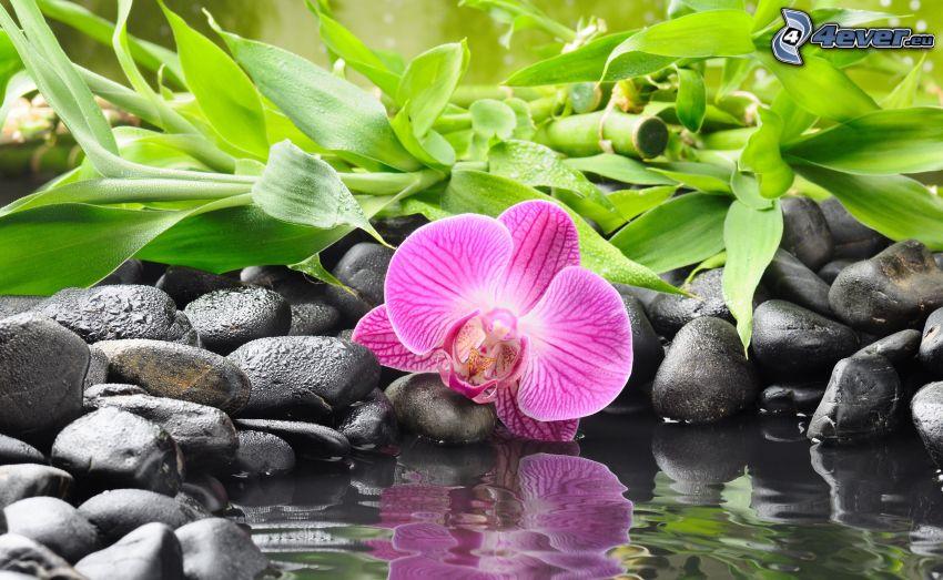 Orchidé, stenar, gröna blad